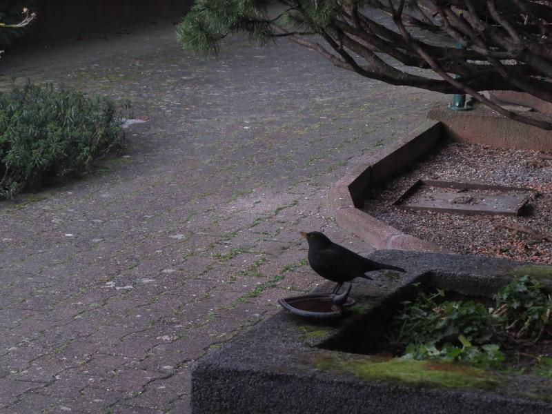 Les oiseaux du jardin 29_21_11