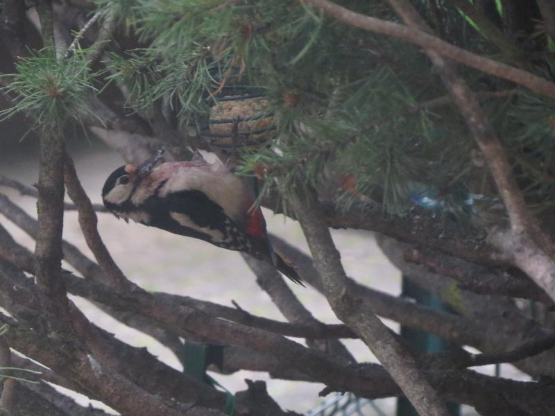 Les oiseaux du jardin 30_5_j11