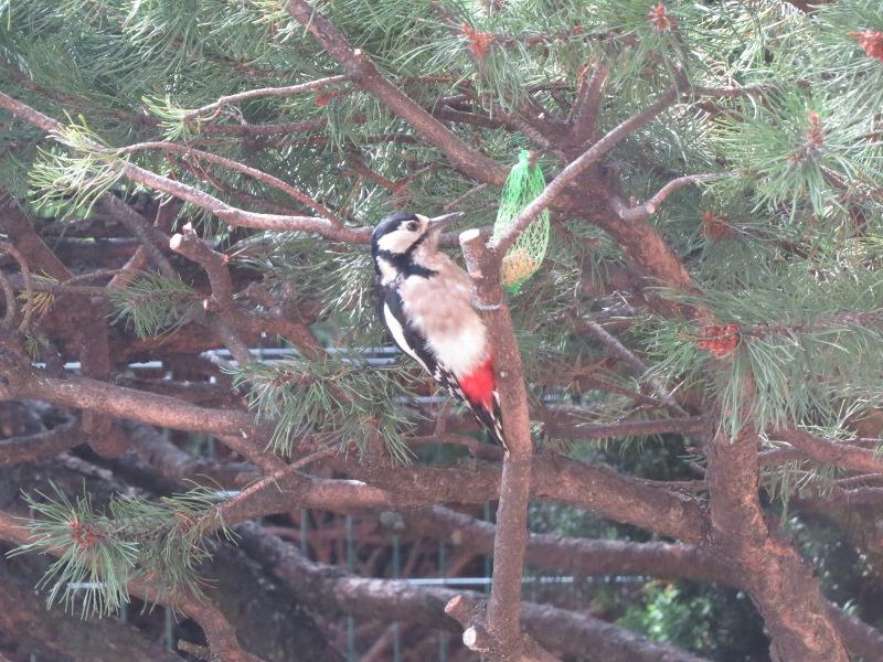 Les oiseaux du jardin 31_pic11
