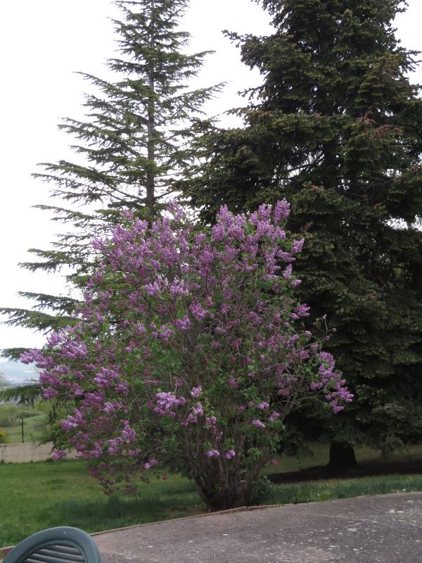 Un bout de printemps Lilas_10