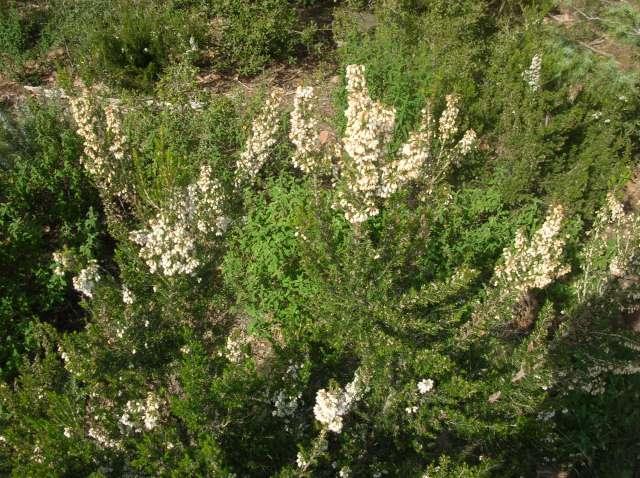 Bruyère à fleurs blanches.. Dscn6023