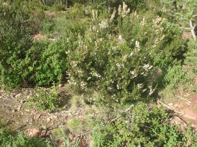 Bruyère à fleurs blanches.. Dscn6024