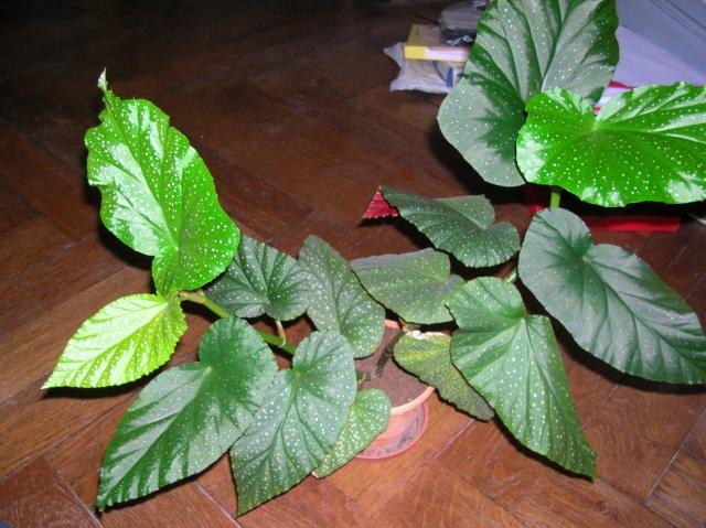Begonia corallina horticole (bambusiforme) Begoni20