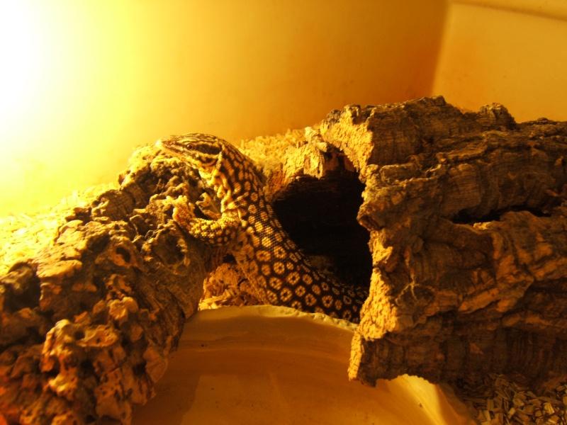 varanus acanthurus Photo_55