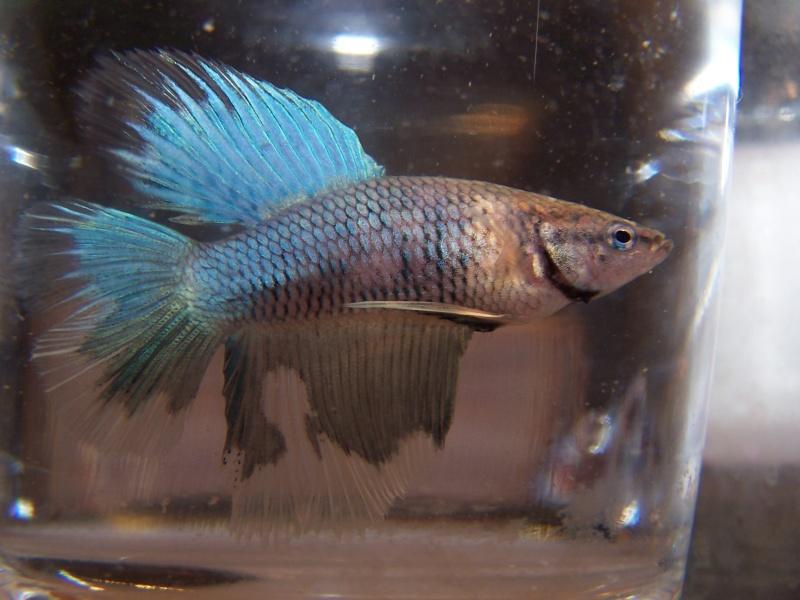 2 mâles (mère 11/12 QD multi/ Père OHM blue BF) Male_q10