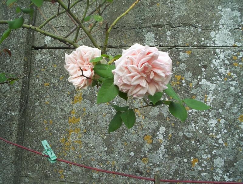 petite ballade au jardin côté roses Rose_010