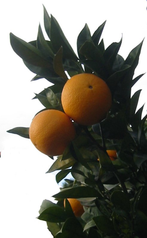 Orange Crevet62