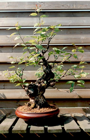 à force de voir les votres ... je cherche un prunus mume ! Prunus11