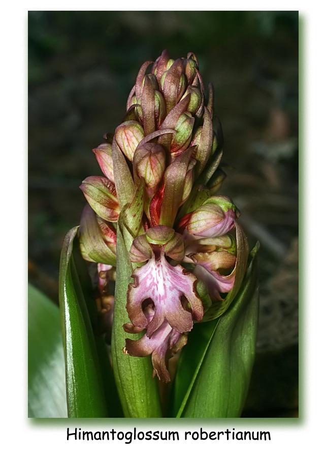 Himantoglossum robertianum (Barlia, Orchis géant ) 211