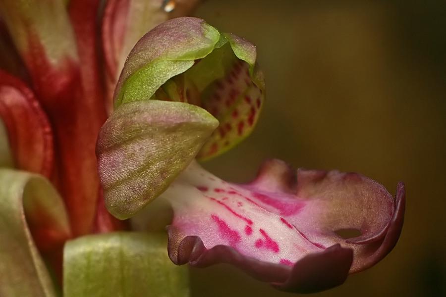 Himantoglossum robertianum (Barlia, Orchis géant ) 710