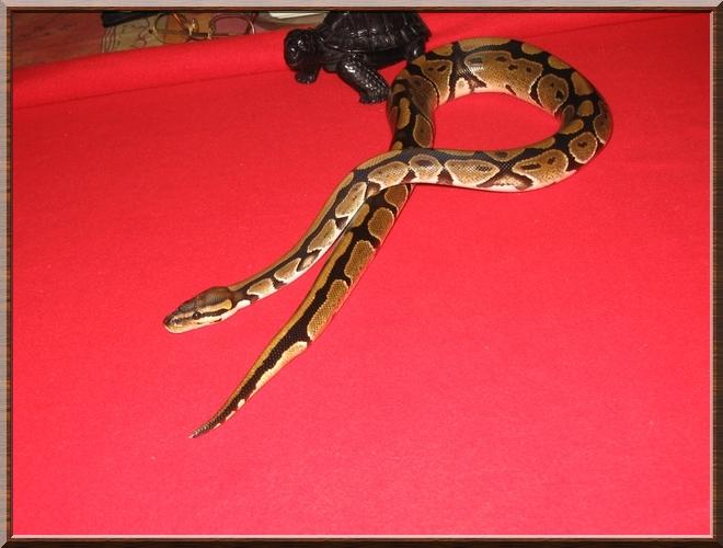 venr Python Royal Img_0913