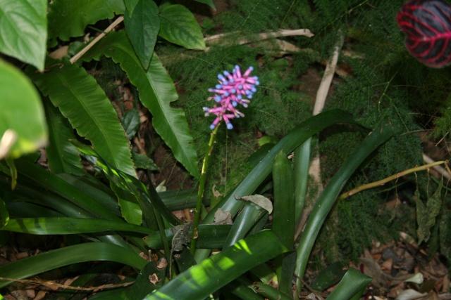 Broméliacées en fleurs dans le jardin Aechme10