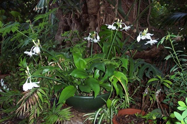 Un Lis d'Amazonie (Eucharis grandiflora ) pour ce début d'année Amaryl12