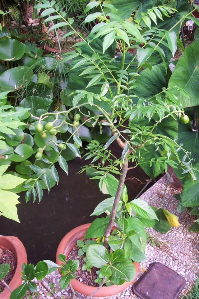 Prune de cythère - Spondias dulcis Anacar10