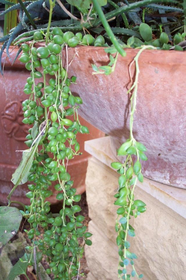 Senecio rowleyanus  en période de floraison. Astera10