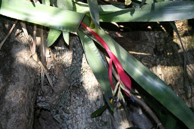 Broméliacées en fleurs dans le jardin Billeb10