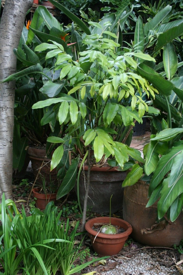 Castanospermum australe, pour ceux qui sont patients Castan10