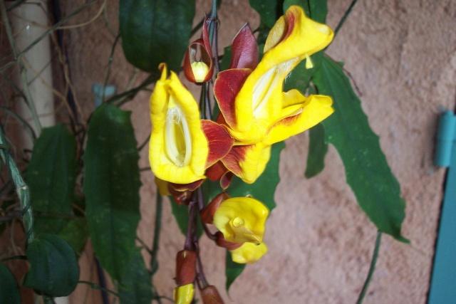 Thunbergia mysorensis en fleurs en décembre dehors et en pleine terre Chez_l10