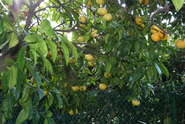 Les Agrumes, ça se précise Citrus11
