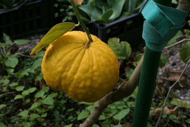 Les Agrumes, ça se précise Citrus12