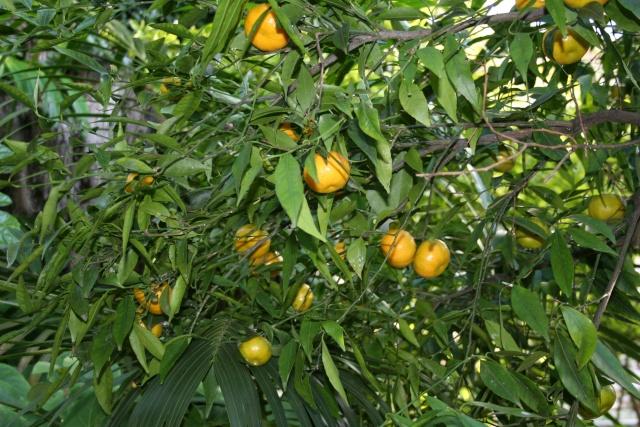 Les Agrumes, ça se précise Citrus13