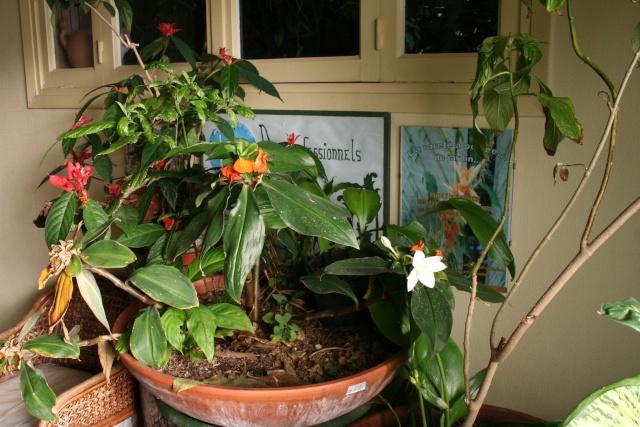 Un Lis d'Amazonie (Eucharis grandiflora ) pour ce début d'année Entrae10