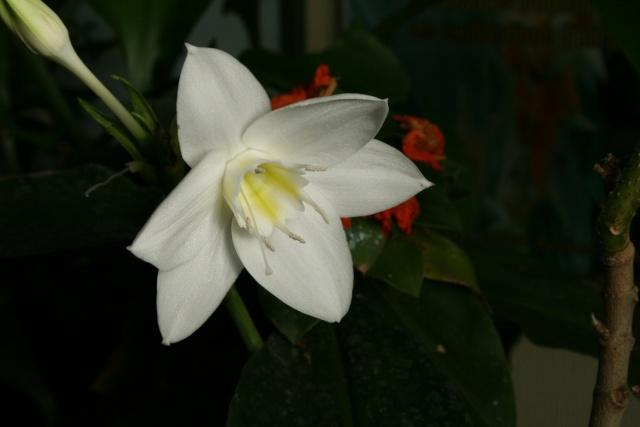 Eucharis grandiflora, fleur superbe de ce 2 janvier Euchar10
