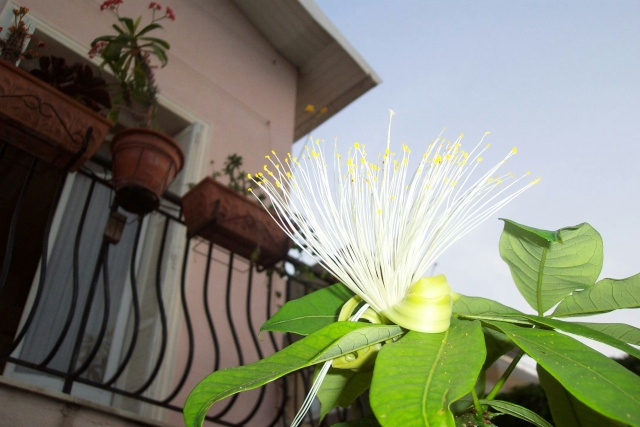 Pachira aquatica et ces cultivars panachés Pachir10