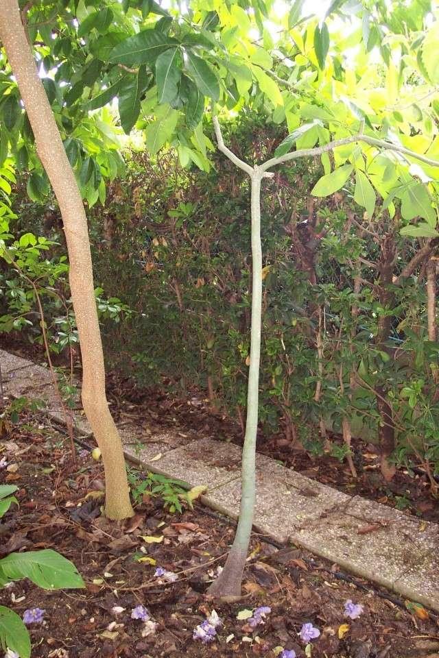 Pachira aquatica et ces cultivars panachés Pachir12