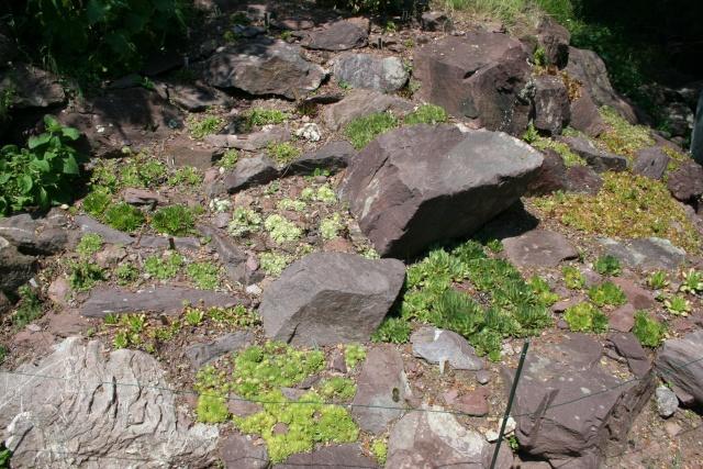 La plante d'aujourd'hui... Parlant de cactus et succulentes no cactacées Semper10