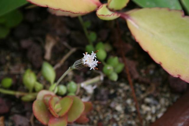 Senecio rowleyanus  en période de floraison. Seneci16