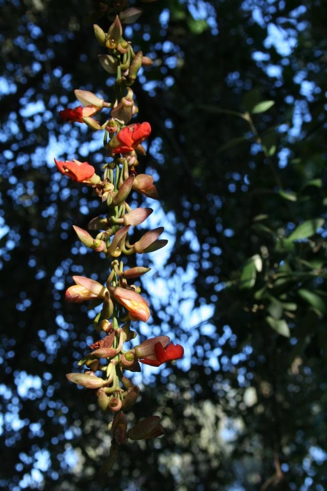 Thunbergia mysorensis en fleurs en décembre dehors et en pleine terre Thunbe12