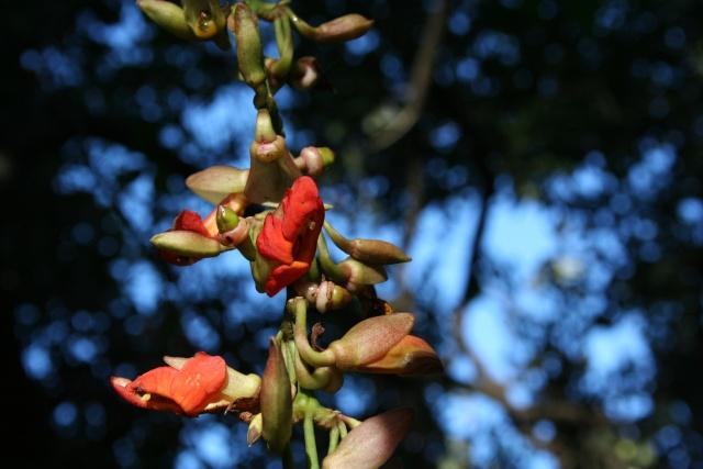 Thunbergia mysorensis en fleurs en décembre dehors et en pleine terre Thunbe13