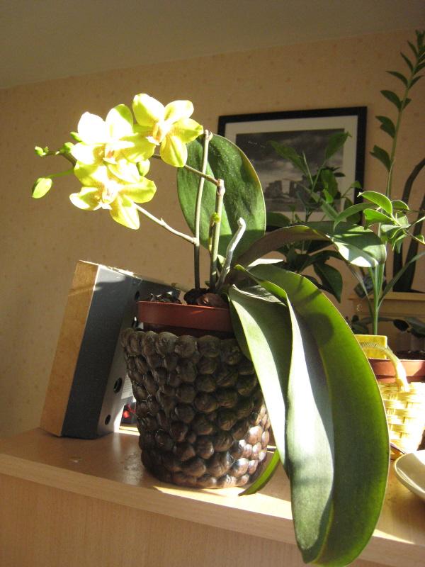 Phalaenopsis diverses Phalae11