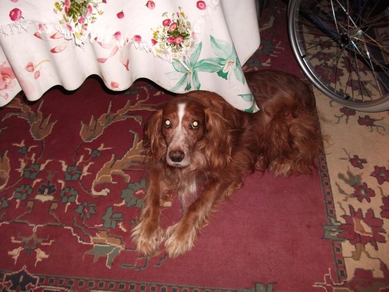 Nicky, croisé épagneul, 12 ans dans son nouveau foyer... Dscf5216