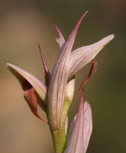 Serapias parviflora ( Sérapias à petites fleurs) Parvif11