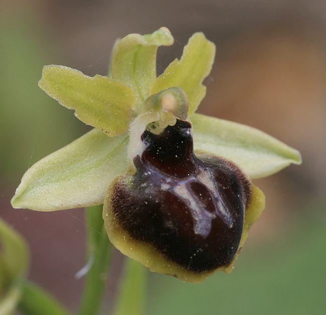 L'arrivée des virescens Ophrys12
