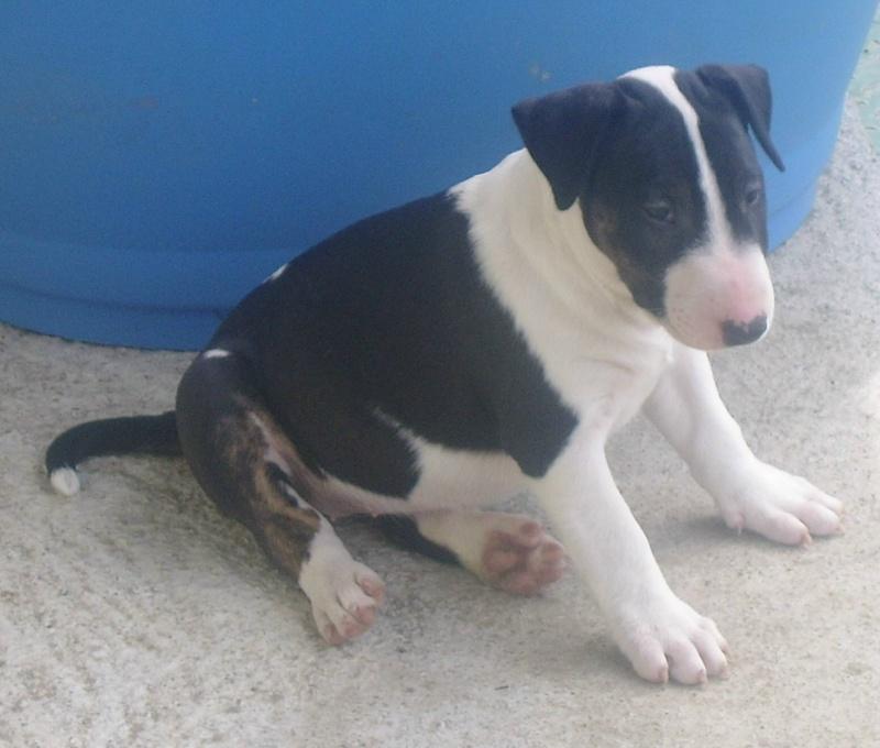 Bull Terrier Bounty11