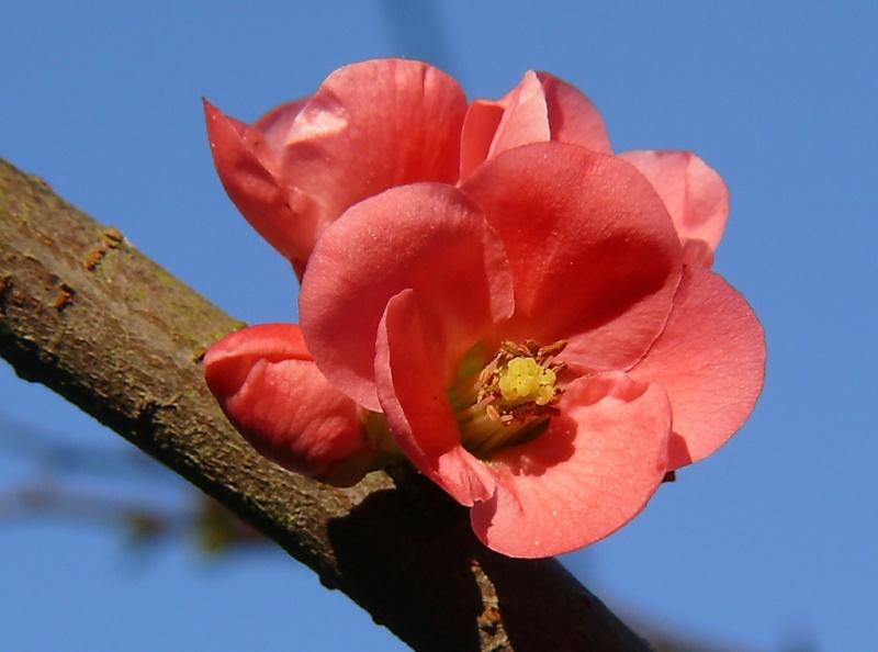 premières fleurs printanières Fleurs10