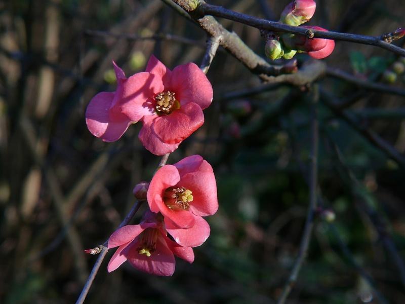 premières fleurs printanières Fleurs11