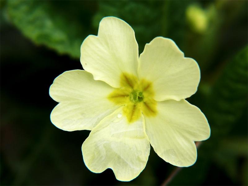 premières fleurs printanières Primev10