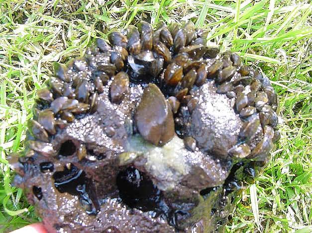 [résolu]Dreissena (Dreissena) polymorpha polymorpha (PALLAS, 1771) Moules10