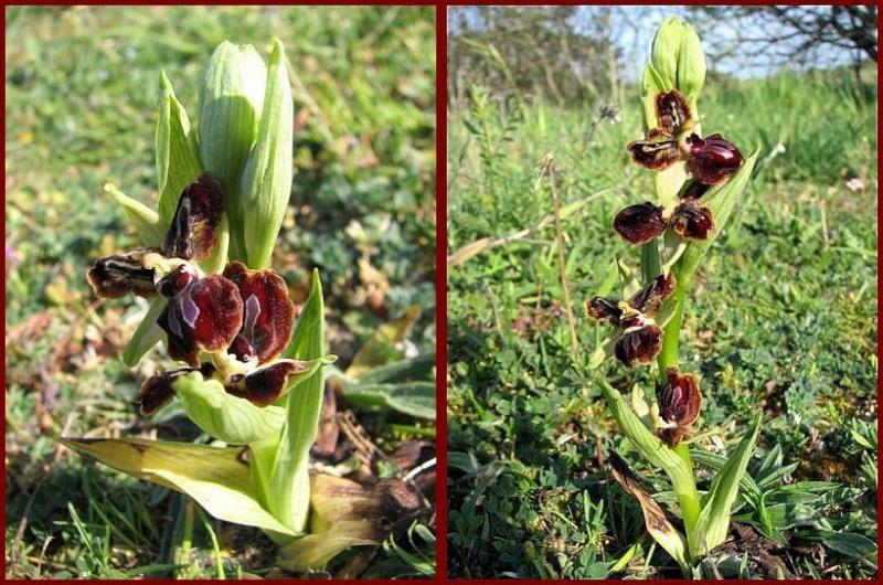 Lusus (labellisation) d' un Ophrys P1610