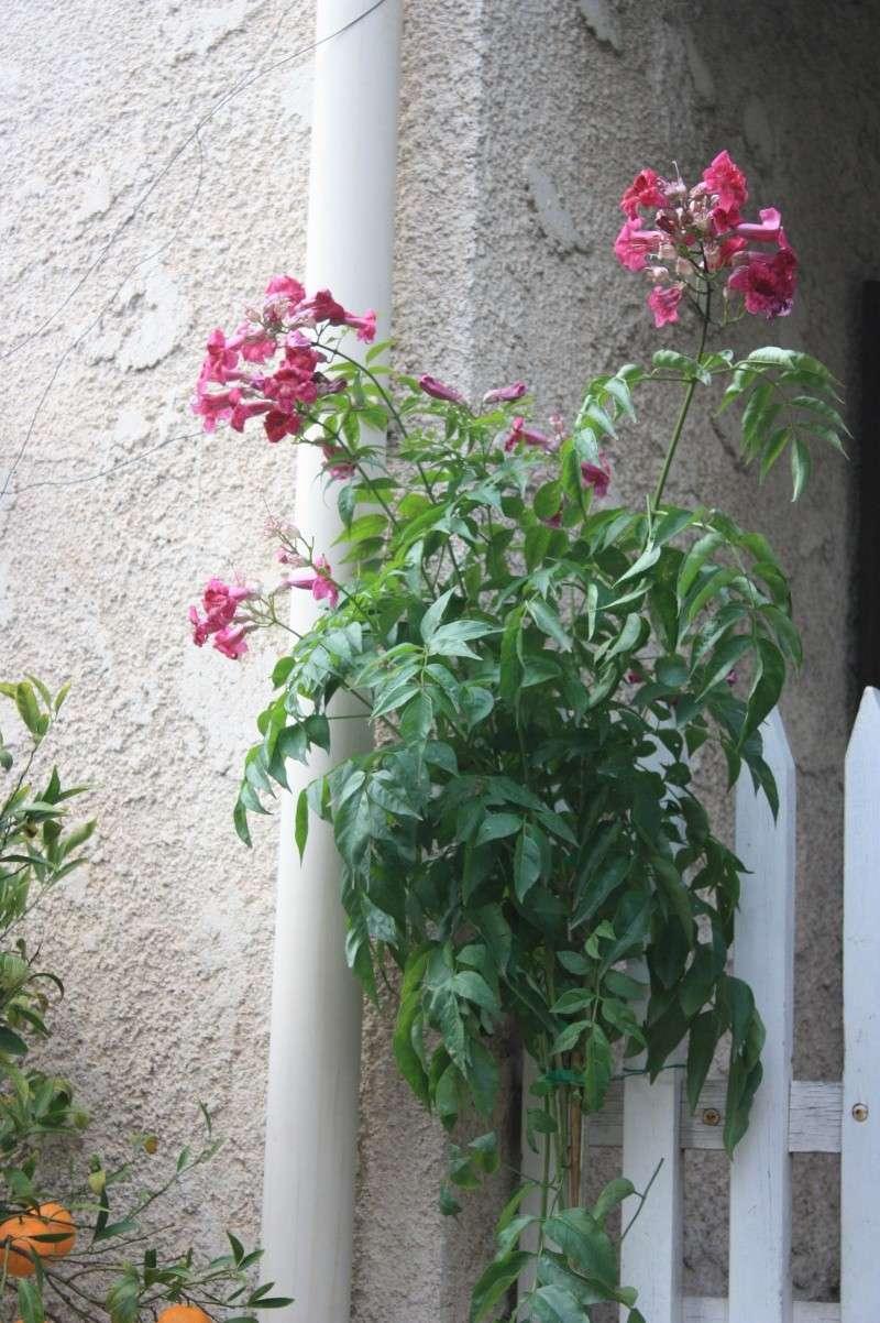 Bignone rose = Podraena ricasoliana encore en fleurs Decemb10