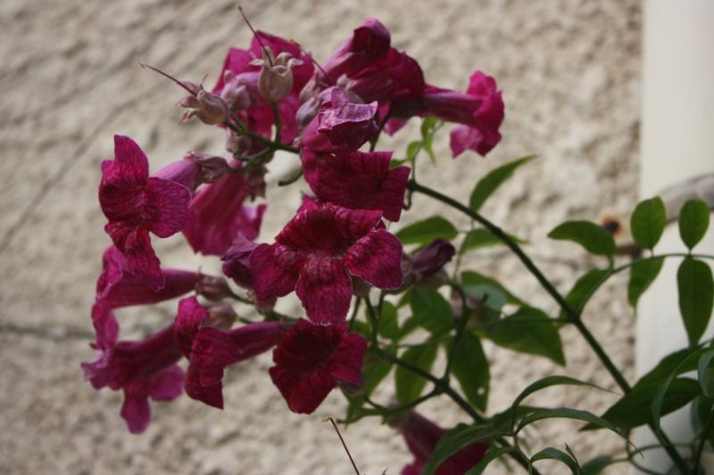 Bignone rose = Podraena ricasoliana encore en fleurs Decemb11