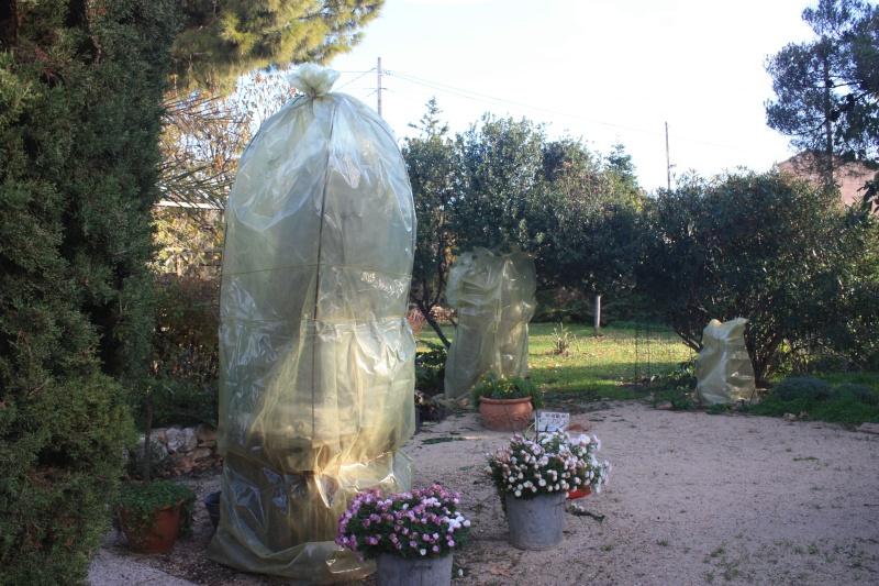 Bignone rose = Podraena ricasoliana encore en fleurs Decemb15