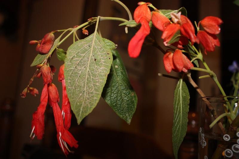 un nom pour cette bouture de sauge [Salvia sessei...] Janvie10