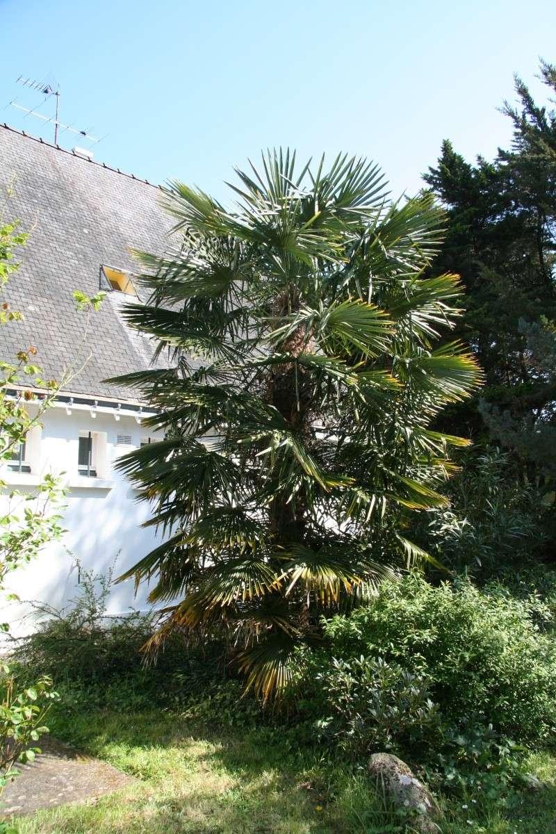 le beau palmier chanvre donné à mon papa Palmie10