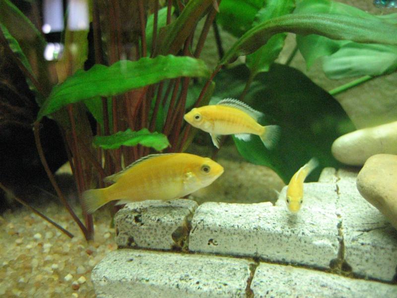 petits labidochromis caeruleus Img_2215