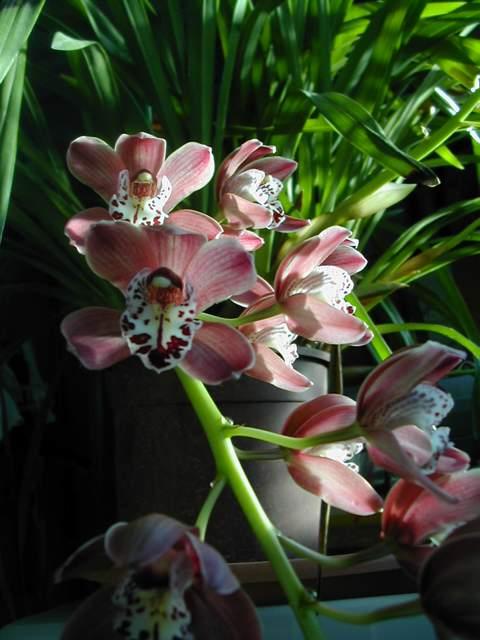 cymbidiums et phalaenopsis Dscn2716